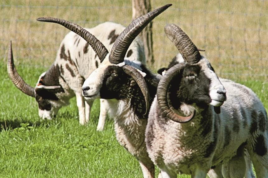 Bild zeigt drei Schafe auf einer Wiese.
